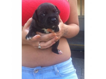 2 staffordshire bull lterrier pups for sale