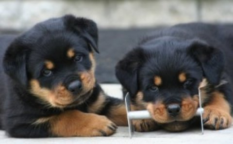 صور Super cute Rottweiler puppies 1