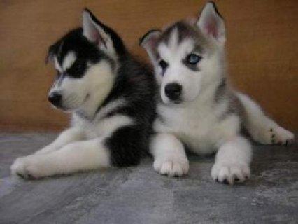 Playful Siberian Husky Puppies