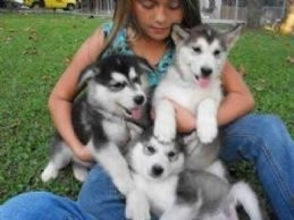 Siberian Husky Puppies for Adoption,,,,