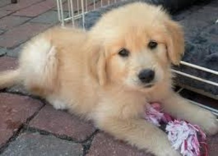 صور Purebred Golden Retriever Puppies Available 1