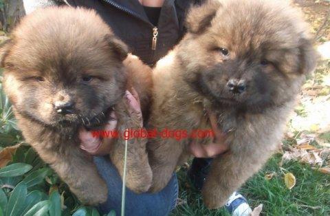 كلاب شاوشاو