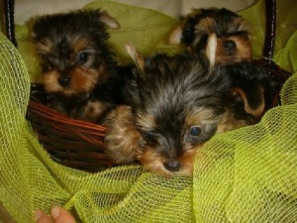 صور Yorkshire Terrier Puppies For Sale 1