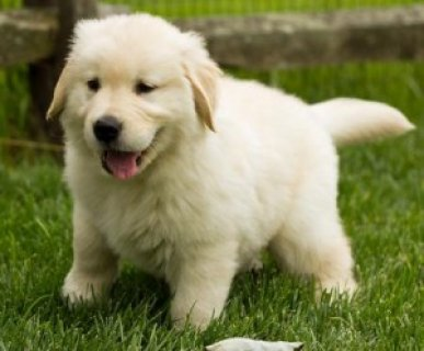 Golden Retriever puppies- Male & Female