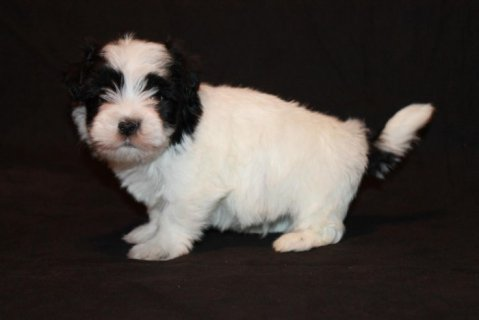 صور Havanese Puppies for Adoption 1