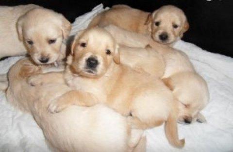 Outstanding litter of quality Golden Retriever puppies.