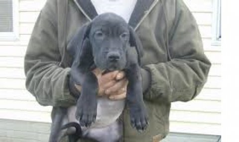 صور Great Dane Puppies Available For Sale 1
