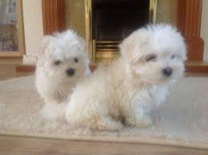Super Cute Maltese Puppies for Adoption