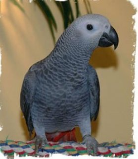 Healthy Male and Female African Grey Parrot