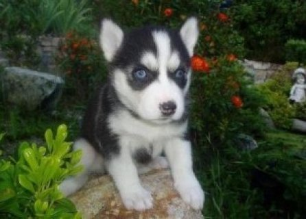 Female and Male Siberian Husky Puppies for Sale