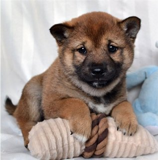 صور Fantastic Shiba Inu Puppies Available 1