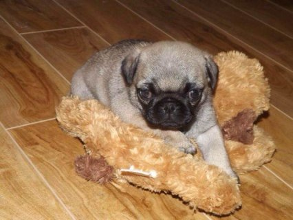 Adorable Fawn Pug Puppies