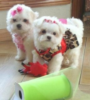 صور Stunning T-Cup Maltese Puppies for adoption 1