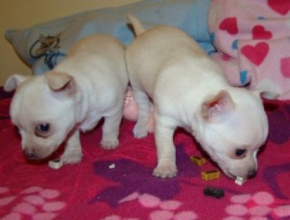 صور Chihuahua Pups for sale 1