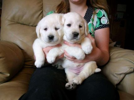 صور We have 1 female, 1 male puppies Labrador retriever 1