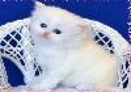 Persian Kittens for Adoption a Male and Female