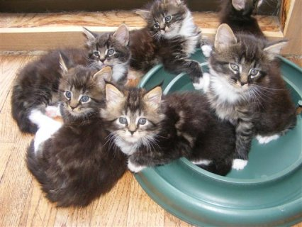 صور We have a lovely litter of Maine Coon kittens seeking their fore 1