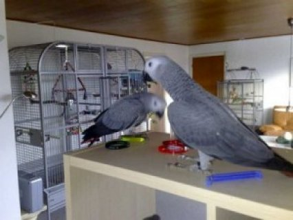 Red Congo African Grey Parrot3
