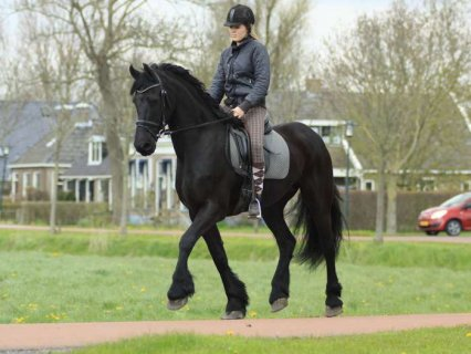 صور NOW READY MARE FRIESIAN HORSES  1