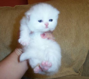 Cute White Persian female kitten for adoption