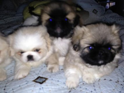 Pekingese puppies Ready Now For New Homes