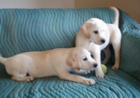 Labrador Retriever Retriever Puppies Available