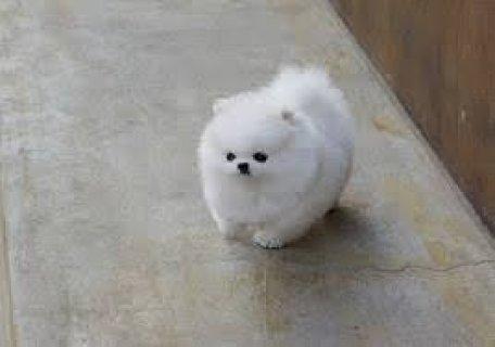 White Teacup Pomeranian Puppies
