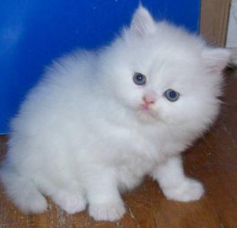 صور Beautiful Rare Marking Perisan kittens 1
