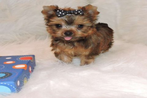 Golden Teacup Yorkie Puppies Available For New Homes1