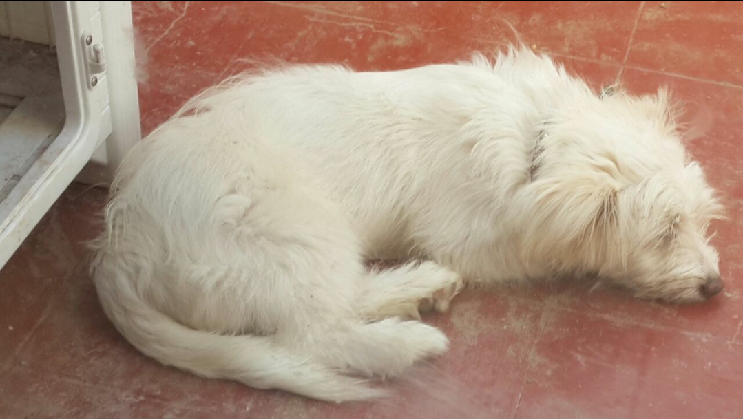 7 month maltese dog for sale