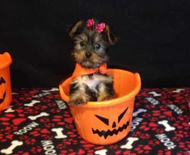 Princess is an adorable Yorkie. She will brighten your day with