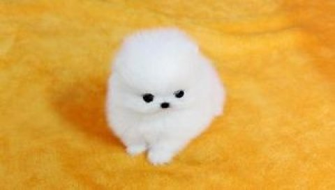 Gorgeous Pomeranian Pups Available