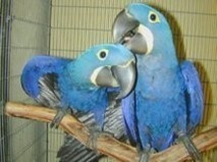 Hyacinth Macaw Parrots for sale111