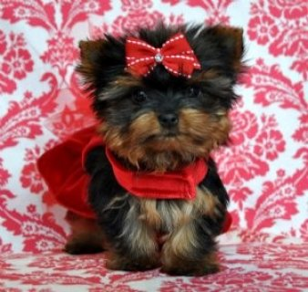 صور Yorkies (1 Female/1 Male) 1