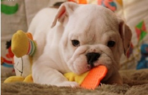 Cheap and Healty English Bulldog puppies for adoption