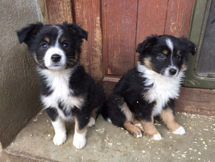 Australian German Shepherd Puppies For adoption