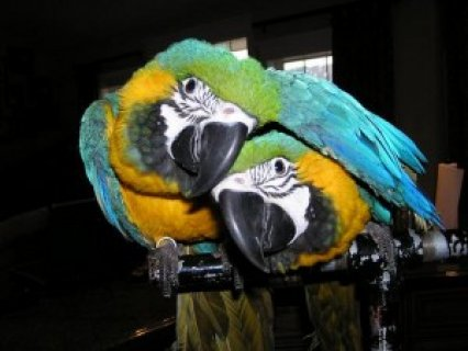 Excellent Talkers Blue and Gold Macaw Parrots
