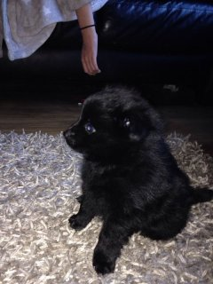 Grey Male and Black Female Tiny Teacup Pomeranian Puppies For S