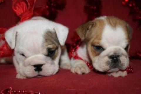 Male and Female English Bulldog Puppies For Sale22