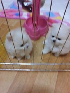 صور Charming Pom Puppies 1