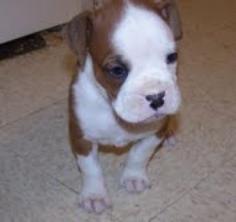 very beautifull and cute boxer puppies for adoption