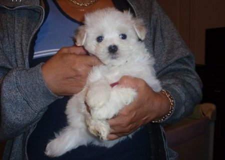 Adorable Maltese Puppies For sale...