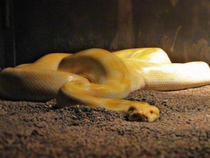 Albino Python ball snakes for sale.