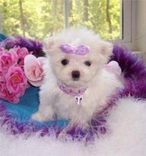 Wonderful Maltese puppies for Adoption
