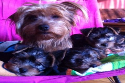 Adorable Yorkies For Sale