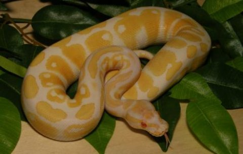 albino and piebald for Sale