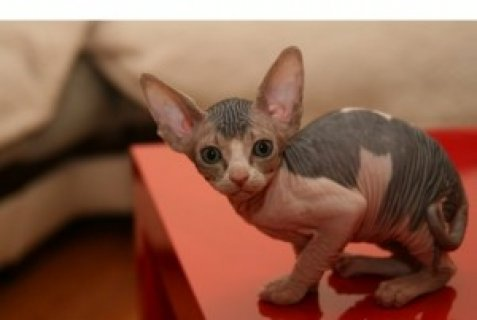 Registered Sphynx Kittens For Sale