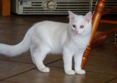 Seal Lynx Point Ragdoll Kitten For Sale