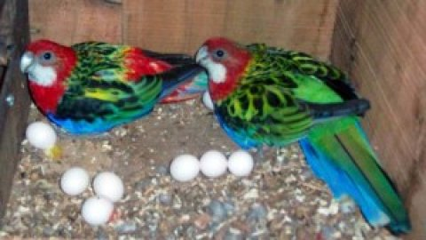 Blue and Gold Macaw Breeding Pair Sale