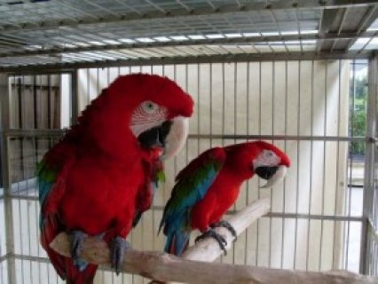 ******Beautiful Pair of Green Wing Macaw For Sale
